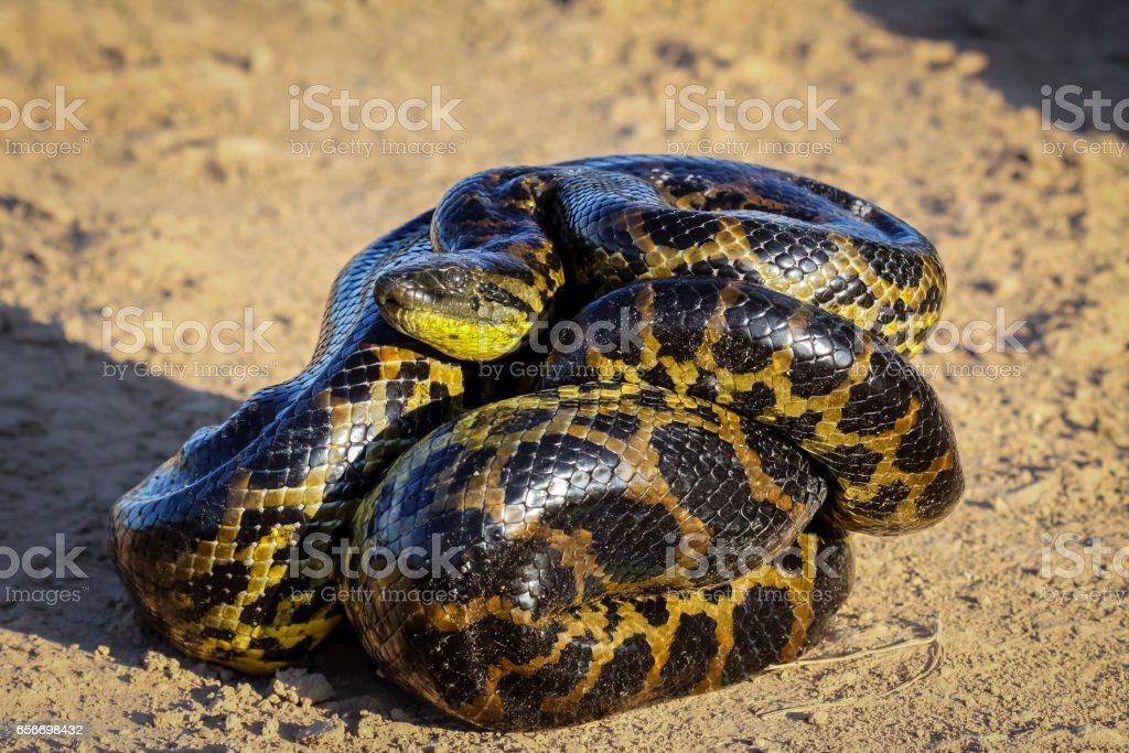 Young Yellow anaconda laying on the ground – zdjęcie
