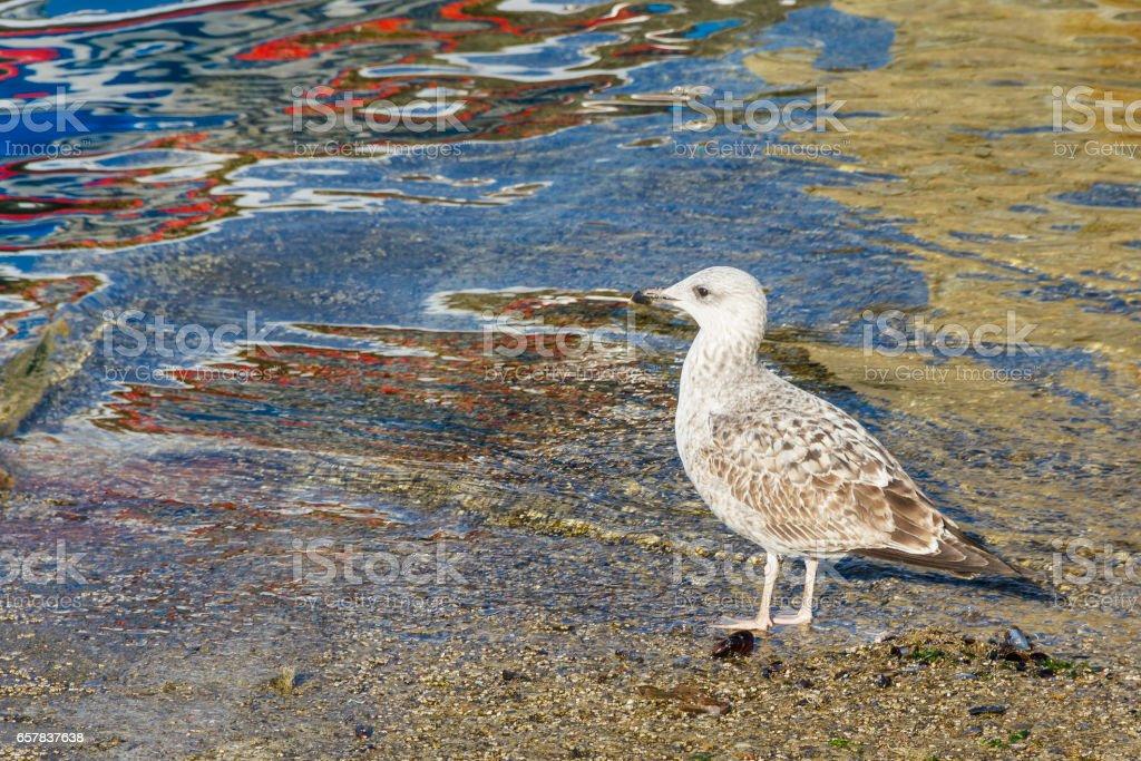 Young yellow legged gull stock photo