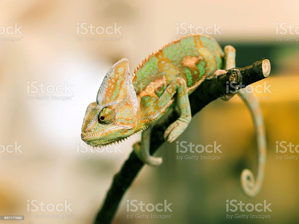 Young Yemen chameleon on the branch - Chameleo calyptratus stock photo