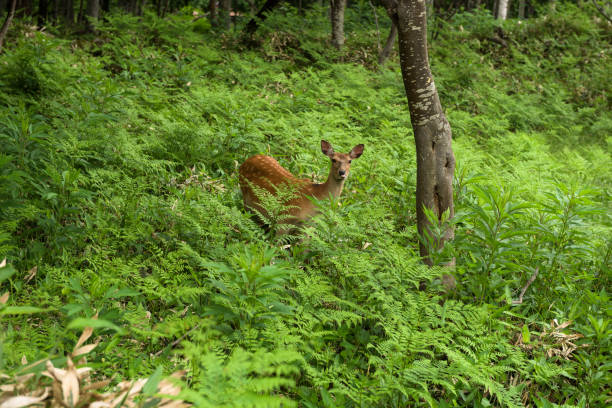 A young Yezo Sika Deer walking through the forest and fields of Shiretoko National Park stock photo