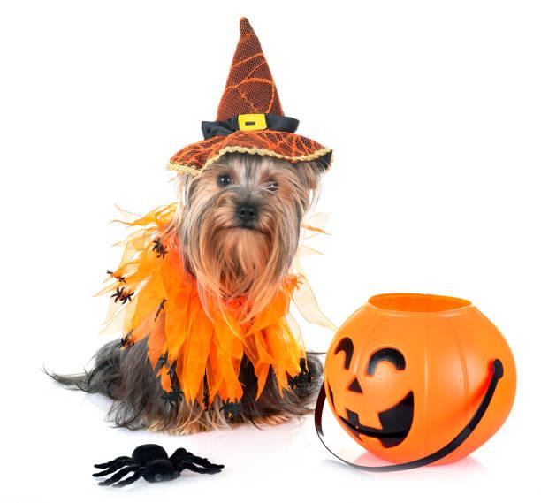 junge yorkshire-terrier - hund spinnenkostüm stock-fotos und bilder