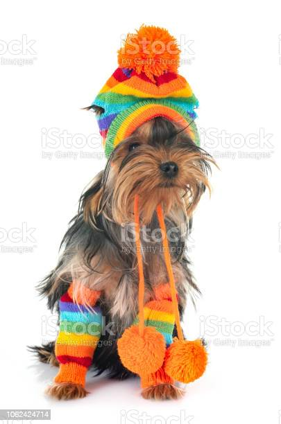 Young yorkshire terrier picture id1062424714?b=1&k=6&m=1062424714&s=612x612&h=9ufqaupptcdadiyx8sltsrvorpvopxxllufdutv 1dg=