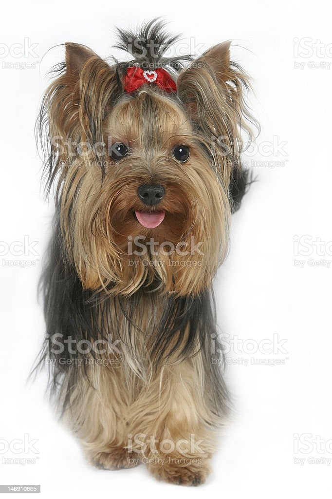 Young Yorkshire Terrier stock photo