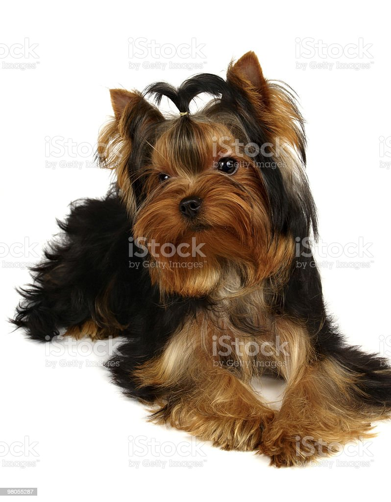 Young Yorkshire Terrier royalty-free stock photo