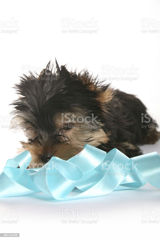 Young Yorkshire Terrier Puppy playing with ribbon royalty-free stock photo