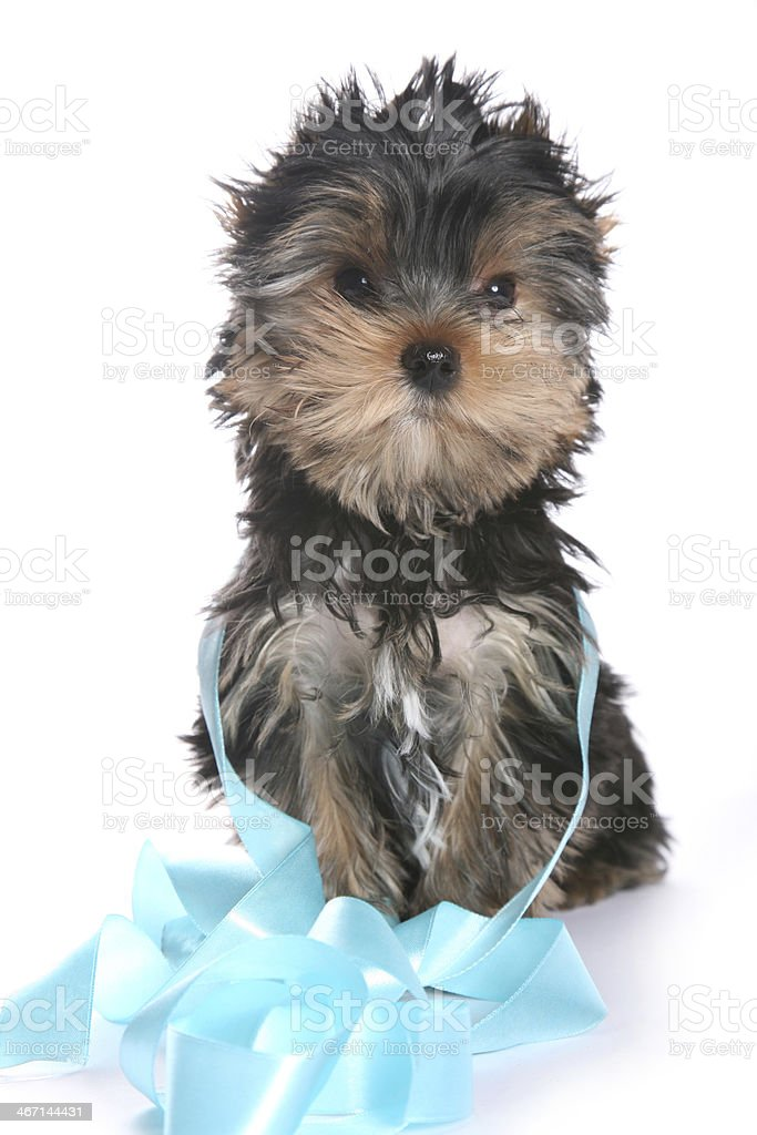 Young Yorkshire Terrier Puppy with ribbon sitting royalty-free stock photo