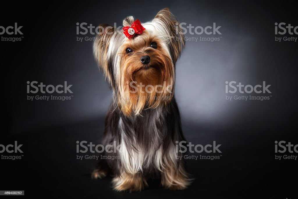 Young Yorkshire Terrier show class stock photo