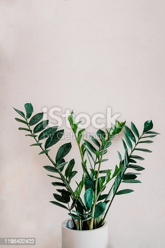 young Zamioculcas a potted plant isolated over white.