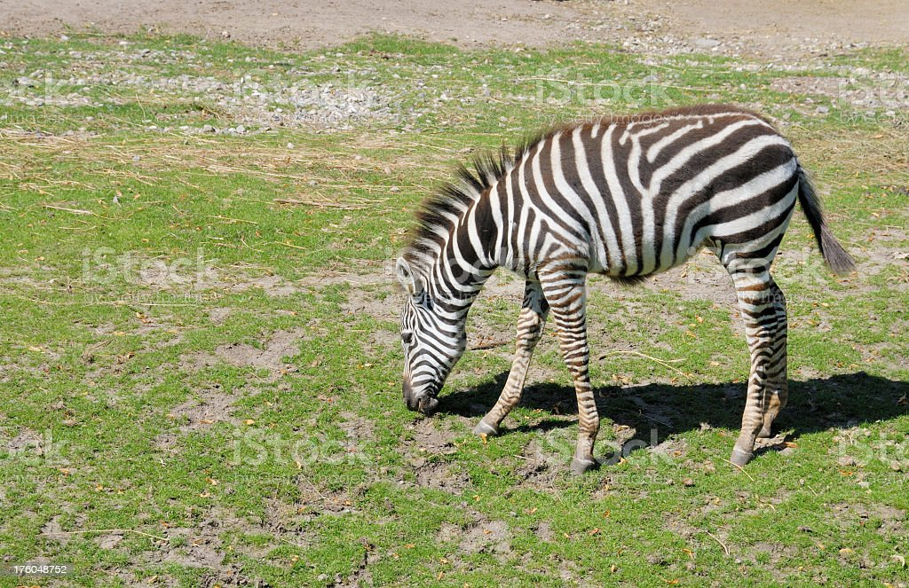 Young Zebra Eating Grass Stock Photo - Download Image Now ...