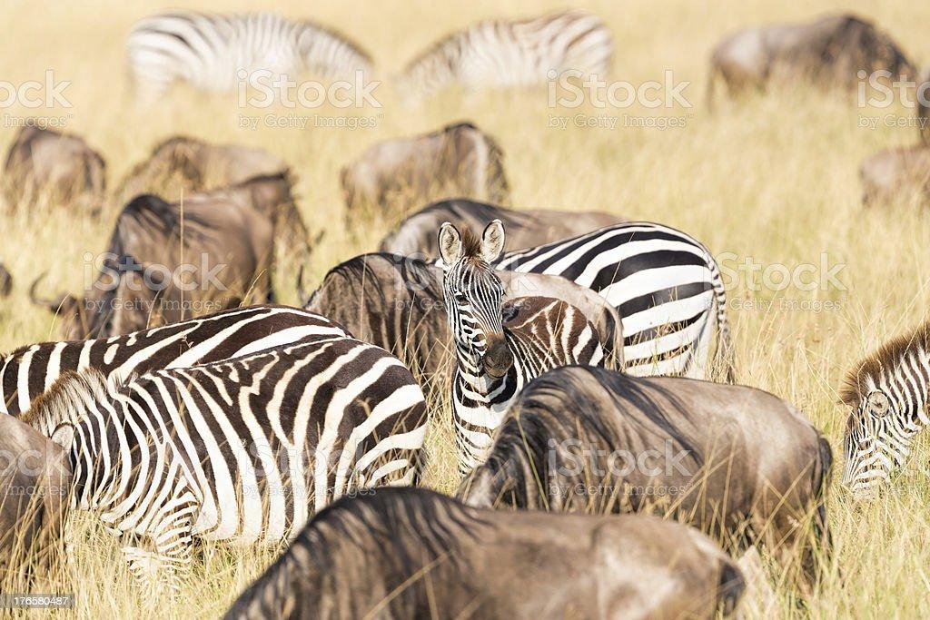 Young Zebra - looking at camera royalty-free stock photo