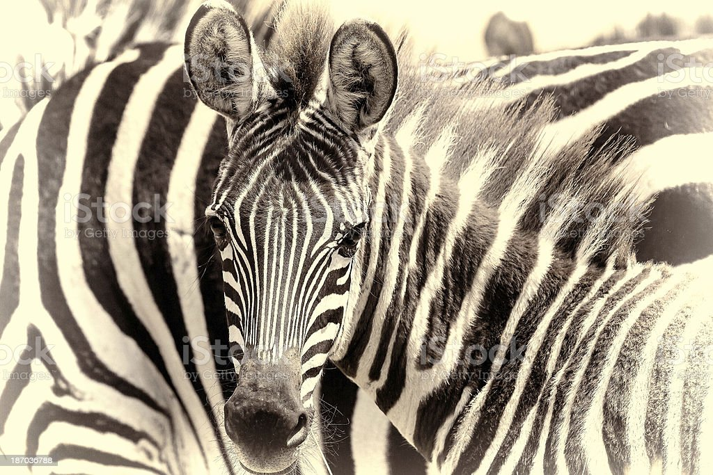 young Zebra - looking at camera royalty-free stock photo