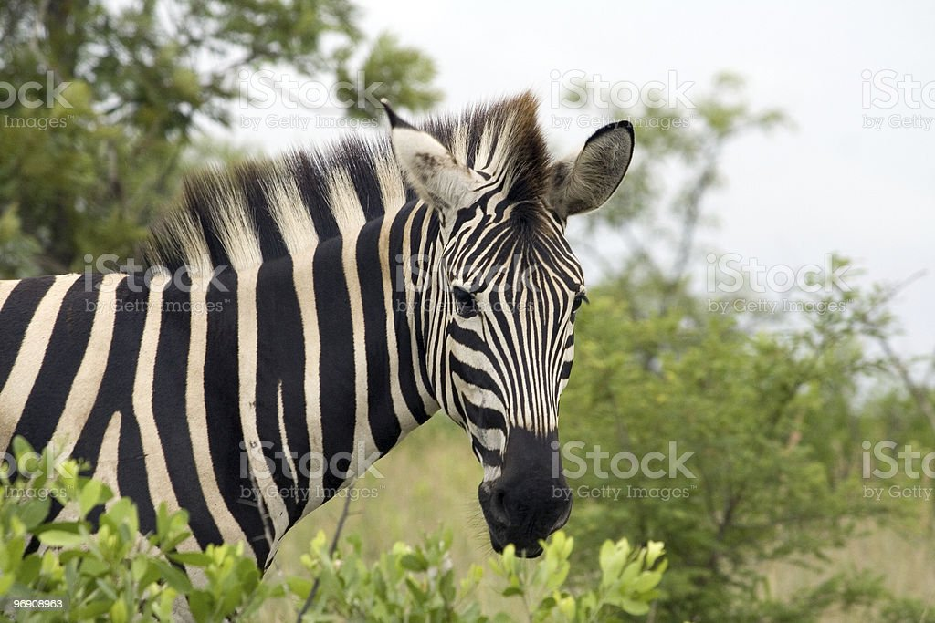 Young Zebra looking from left into frame royalty-free stock photo