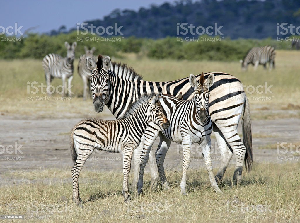 Young Zebras with Mother royalty-free stock photo