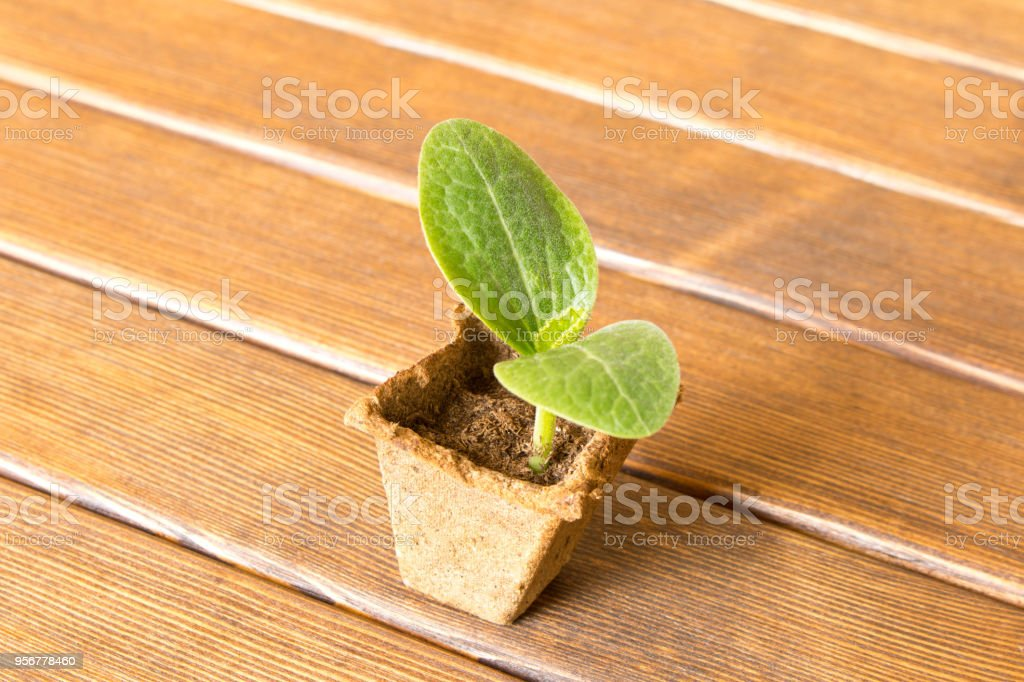 Young zucchini sprout on wooden background . Selective focus. stock photo