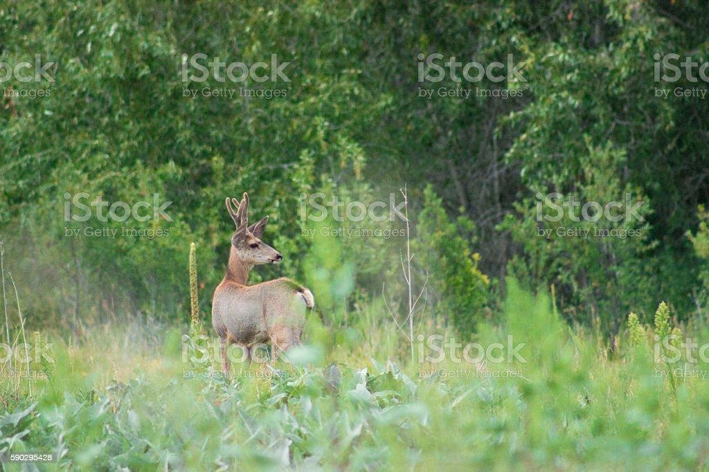 Younger Mule Deer Buck in Velvet royaltyfri bildbanksbilder