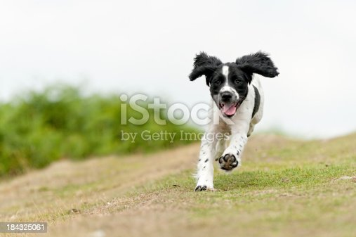 young spaniel puppy enjoying a run in the countryside
