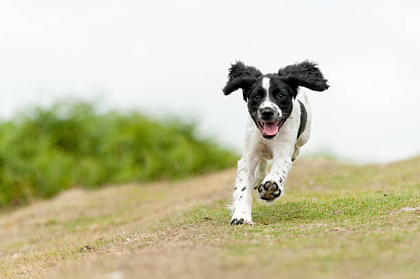 young,free and happy young spaniel puppy enjoying a run in the countryside approaching stock pictures, royalty-free photos & images
