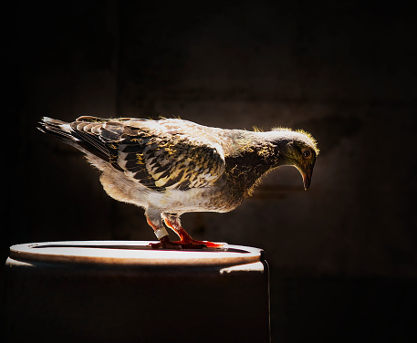 youngster of home pigeon racing standing on the bucket