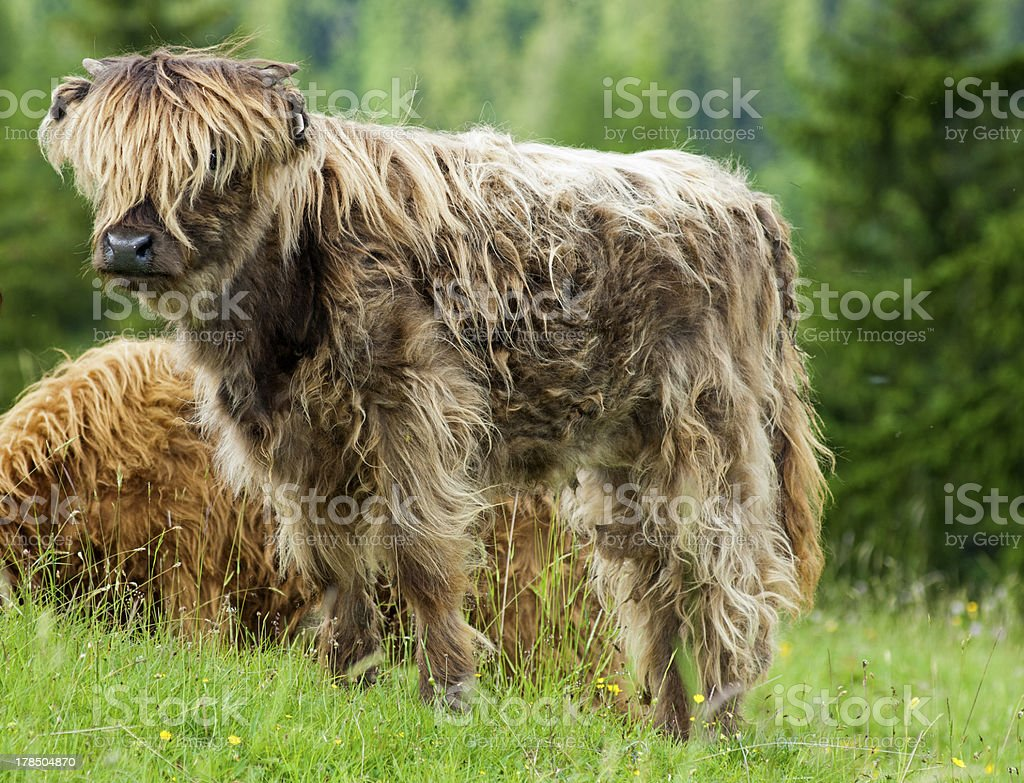 Youngster, red-brown Highland Cattle royalty-free stock photo