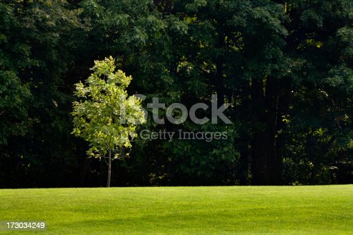 Subject: A young sapling tree in in midst of an old forest.
