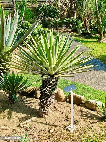 Yucca Aloifolia Agave Plants Decoration in The Beautiful Garden. A Succulent Plants with A Large Rosette of Thick and Fleshy Leaves.