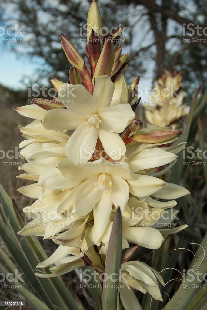 Yucca blooming along the Continental Divide Trail. royalty-free stock photo