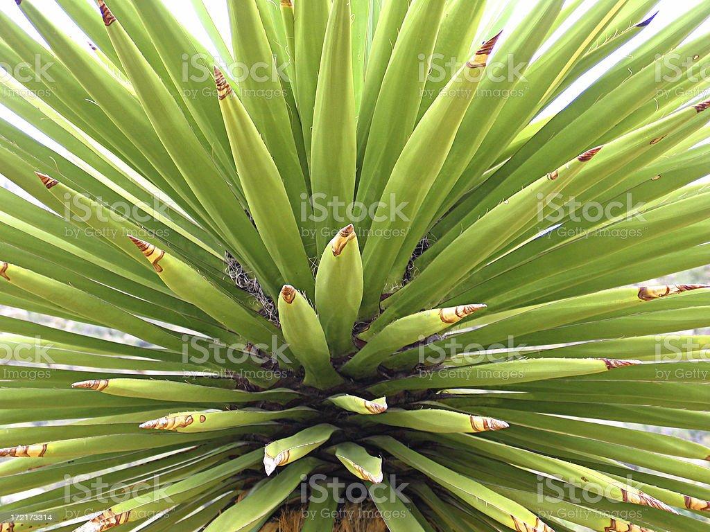 Yucca Cactus Background royalty-free stock photo