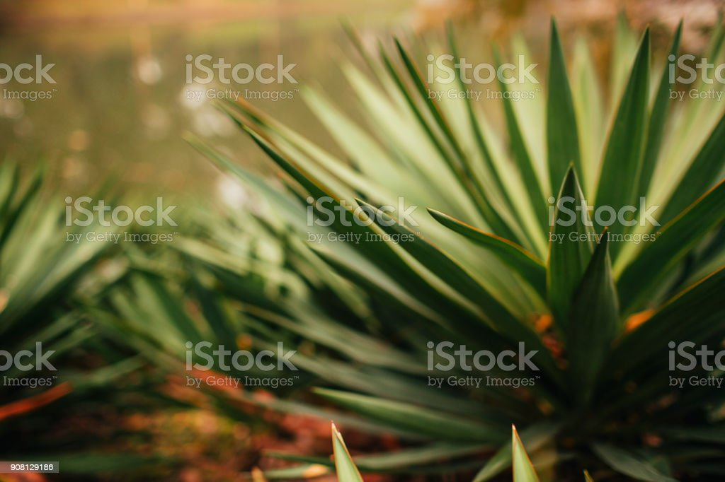 yucca leaf agave stock photo