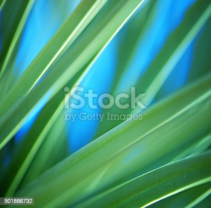 Yucca Leaves Background. Very shallow DOF.
