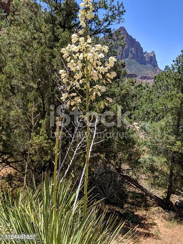 Yucca near Canyon Junction and The Watchman Peak in Zion National Park Utah