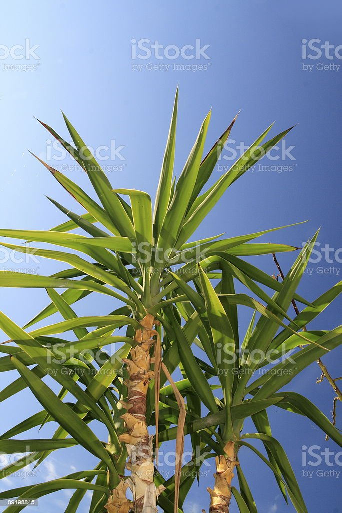 Yucca foto stock royalty-free