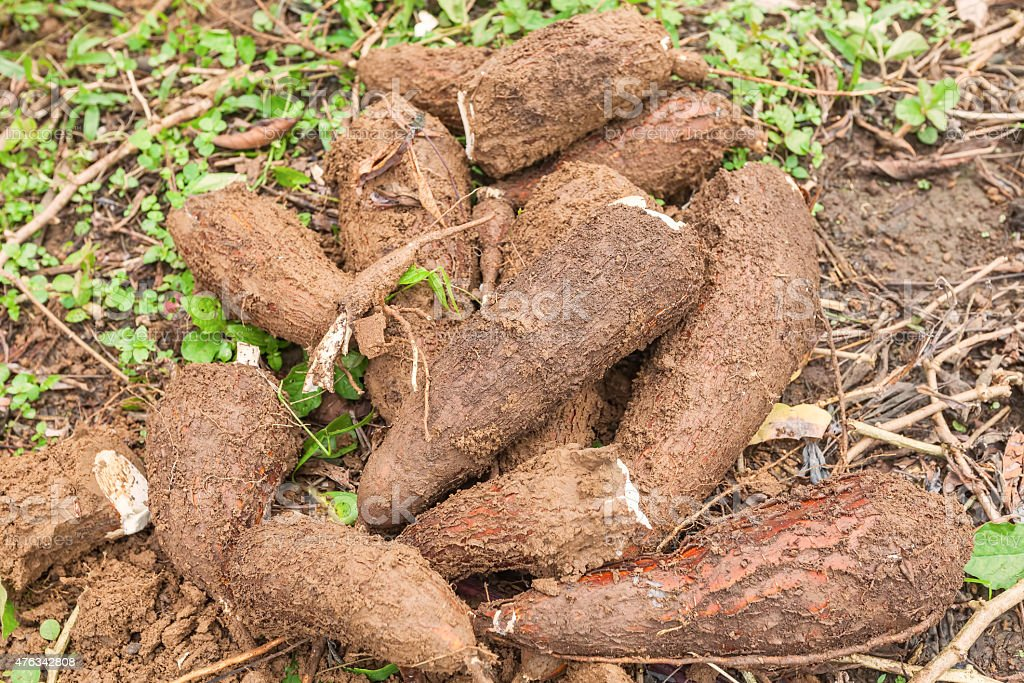 Yucca Root, South America stock photo