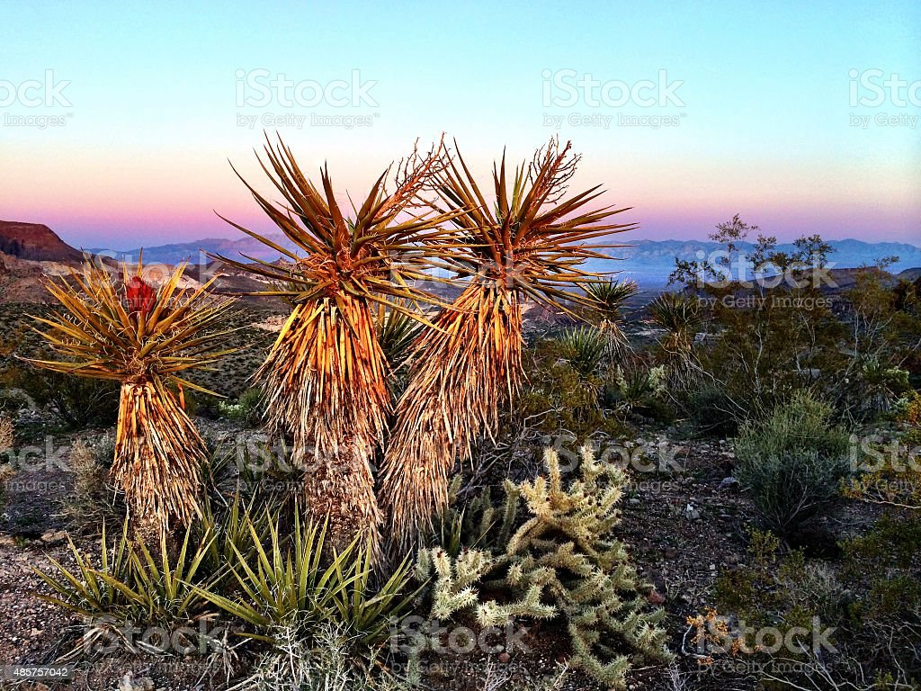 Yucca twilight stock photo