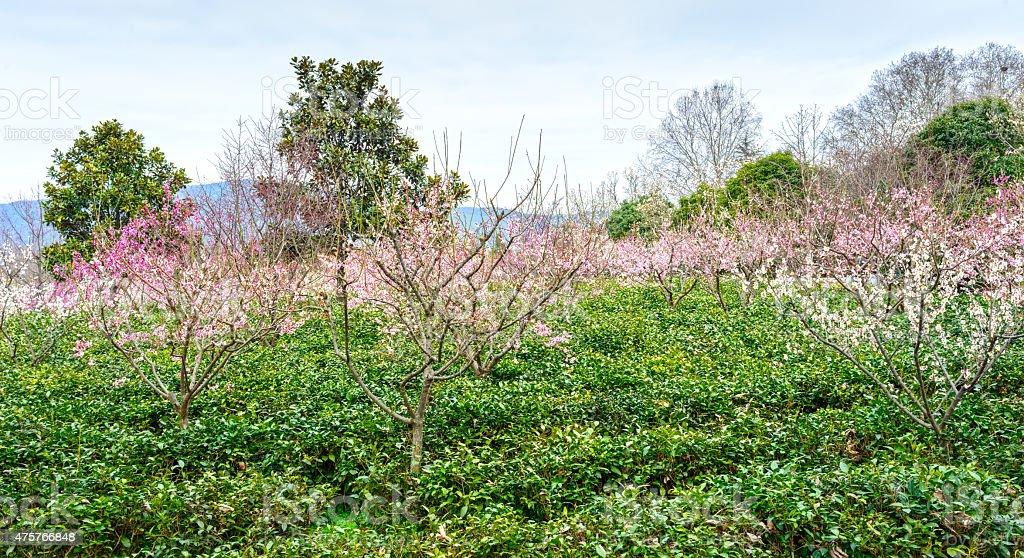 Yuhua tea and Plum Blossom stock photo