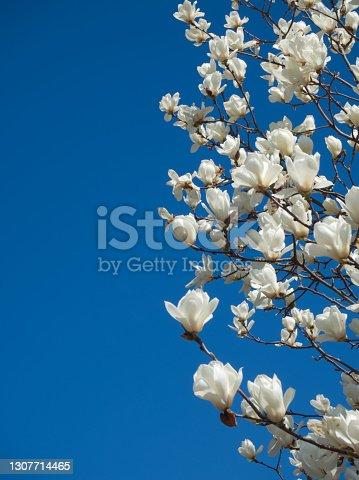 istock Yulan magnolia 1307714465