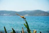 Yusufcuk , Dragonfly