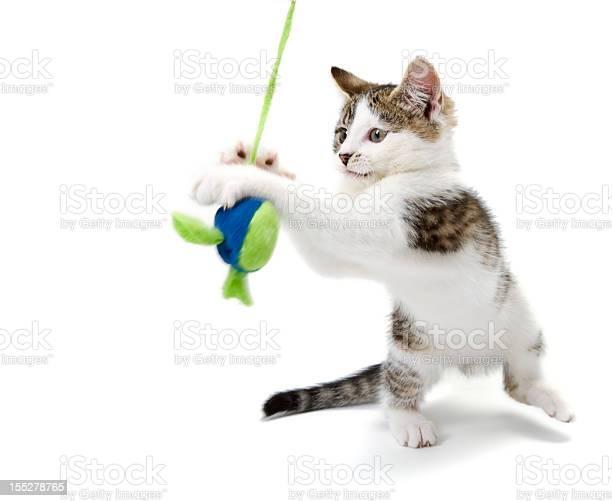 Yyoung tabby white kitten playing with soft toy mouse picture id155278765?b=1&k=6&m=155278765&s=612x612&h=ddc3vuy1kc7ouxz1rh2vlle6nvk8n8hwbj1hc5ysbfu=