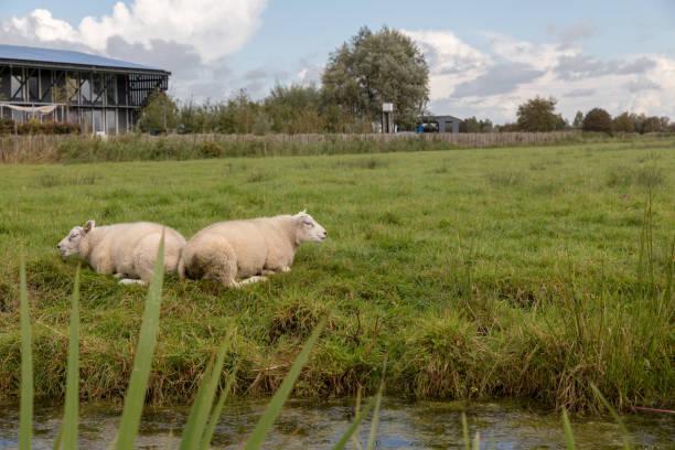Zaanse Schans sheep – zdjęcie