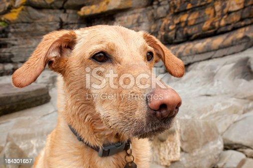 Labrador cross dog.