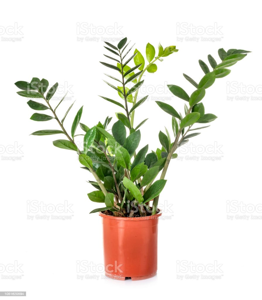 Zamioculcas potted plant Zamioculcas potted plant in front of white background Cut Out Stock Photo