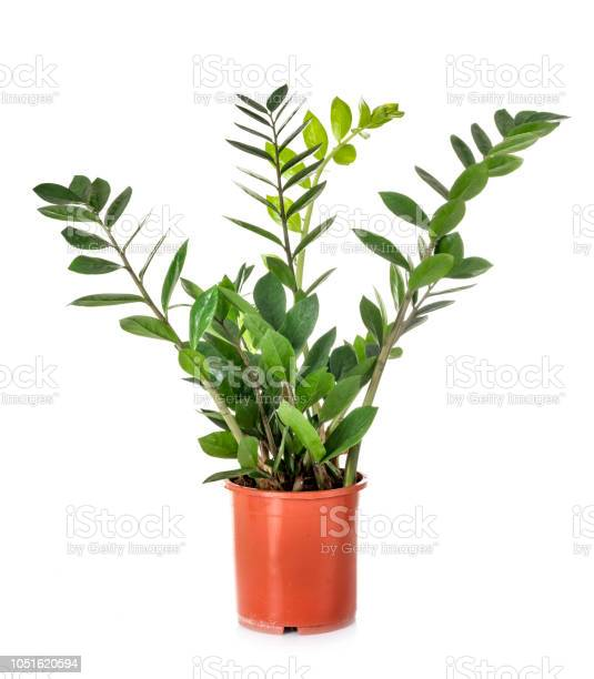 Zamioculcas Potted Plant Stock Photo - Download Image Now