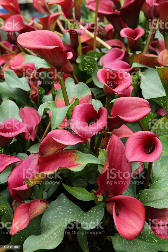 Zantedeschia Aethiopica stock photo
