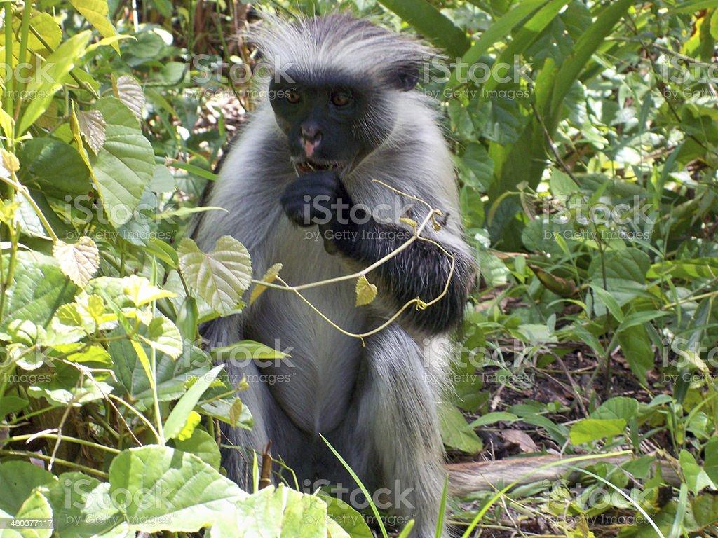 Zanzibar Red Colobus Monkey stock photo