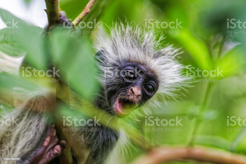 Zanzibar red colobus monkey. Zazibar, Tanzania. stock photo