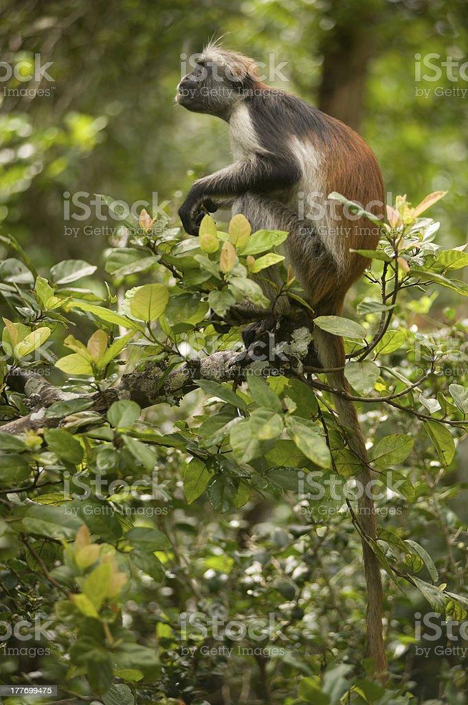 Zanzibar Red Colobus stock photo
