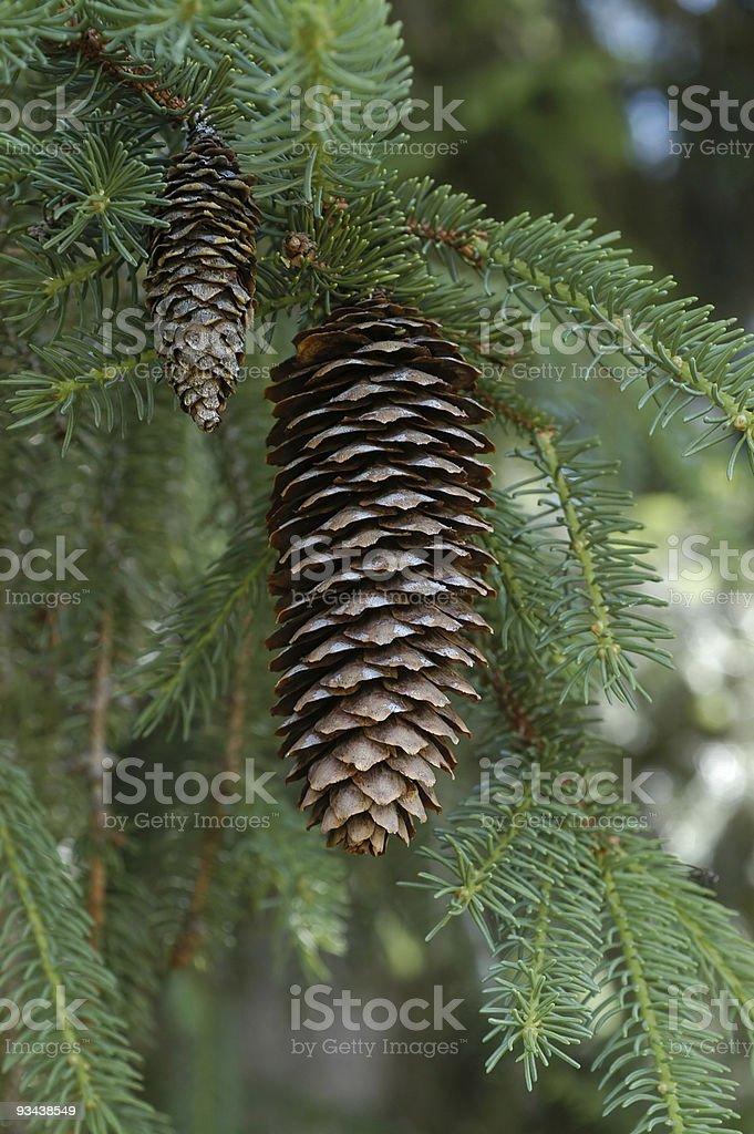 pine grosbeak-Nahaufnahme der pine cone Lizenzfreies stock-foto