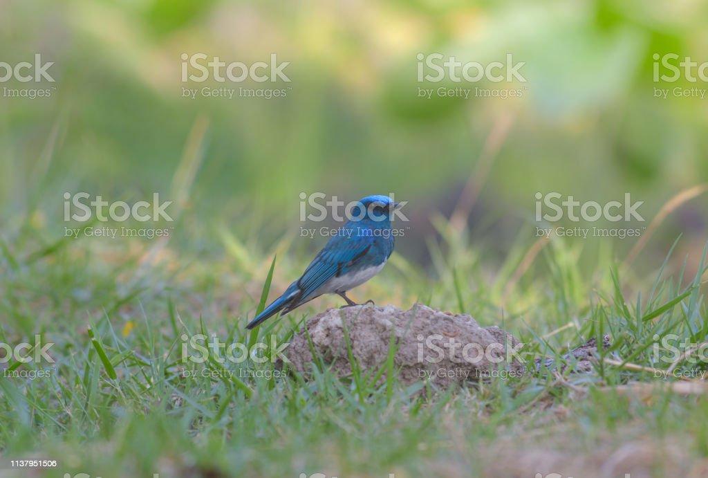 Zappey\'s Flycatcher Little blue bird, Beautiful bird in Thailand.