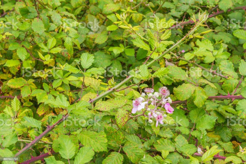 Zarzamora, elmleaf or thornless blackberry royalty-free stock photo