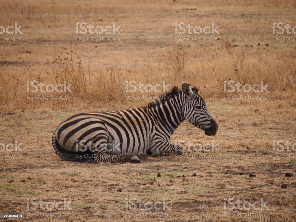 Zèbre d'Afrique stock photo
