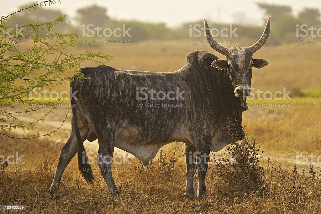 Zébu Sénégal stock photo